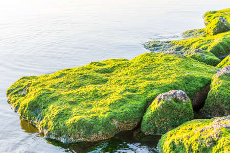 Green moss growing on the stone at the stones at the Corniche park in Dammam, Kingdom of Saudi Arabia