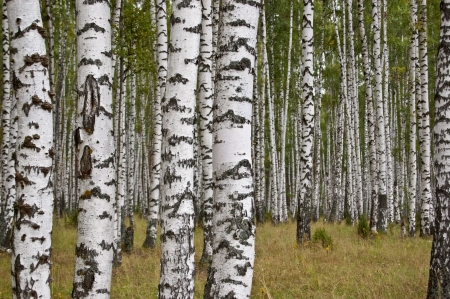 Birch grove in summer day photo