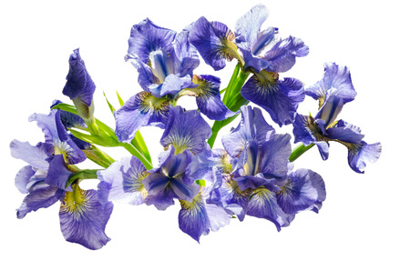 blueflag: Bouquet blueflag or iris flower Isolated on white background. Overhead view Stock Photo