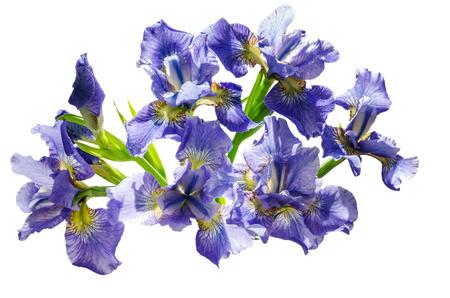 flor violeta: Ramo blueflag o el iris de flores aisladas sobre fondo blanco. Vista de arriba