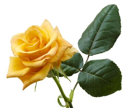 yellowish: Beautiful yellowish orange rose isolated on white background. Macro.