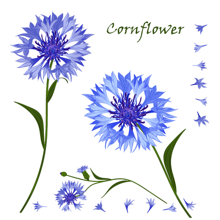 cornflower: Hand-drawn bouquet of beautiful blue cornflower, isolated pattern . Vector illustration