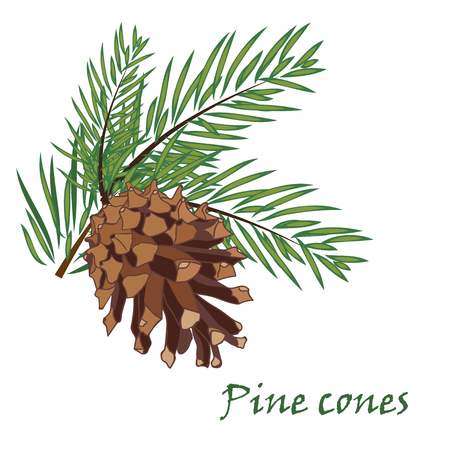 pine cone: Fir tree branches with pine cone  on white background. Vector illustrations