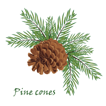 Fir tree branches with pine cone  on white background. Vector illustrations