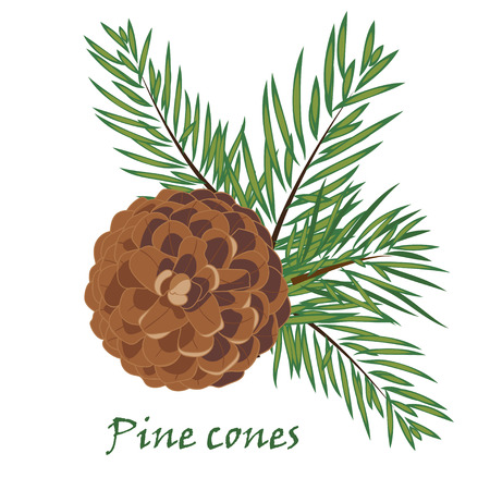 fir cone: Fir tree branches with pine cone  on white background. Vector illustrations