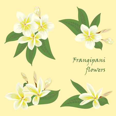 subtropical: Set of flowers frangipani with leafs in realistic hand-drawn style. Vector illustration. Illustration