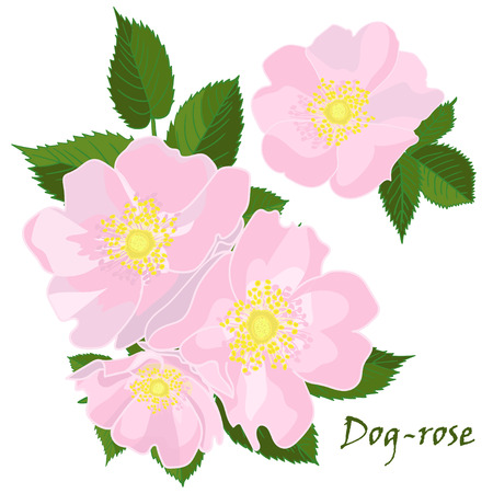 dogrose: Set of flowers dog-rose with leafs in realistic hand-drawn style