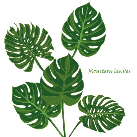 philodendron: Set tropical monstera leaves. realistic drawing in vintage style. isolated on white background. Vector illustration Illustration