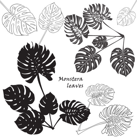 philodendron: Silhouette tropical monstera leaves. Black isolated on white background.. Vector illustration