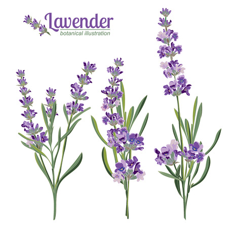 Lavender flowers elements. Botanical illustrations are drawn by hand