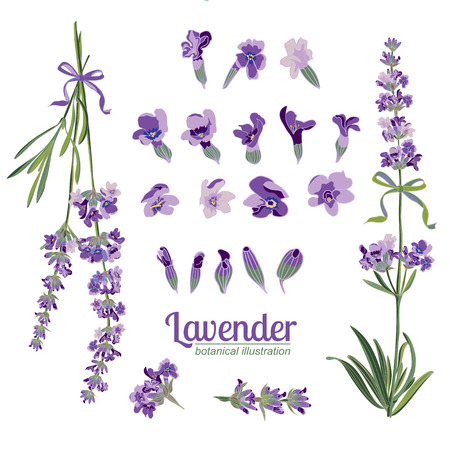 Set Lavender flowers elements. Botanical illustrations are drawn by hand Illustration