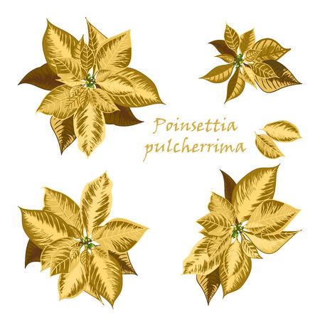 Conjunto de flores Poinsettia en color dorado - símbolos de Navidad. Ilustración vectorial Ilustración de vector