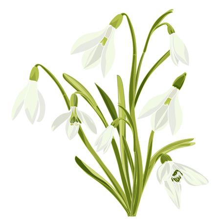 Set beautiful snowdrop flowers. Vector illustration. Isolated on white background Illustration
