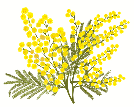 Hand-drawn branch of mimosa isolated on white background. A good idea for your design, poster, greeting card, web banner. Vector illustration Ilustração