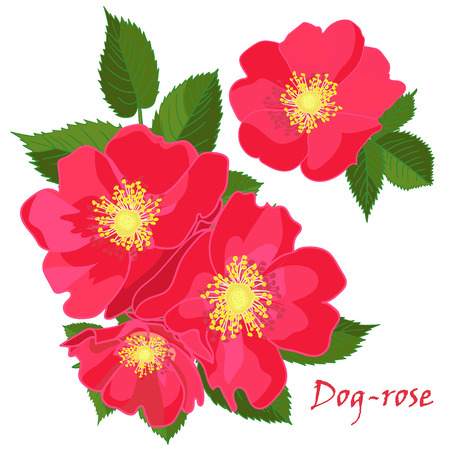 Set red flowers of dog-rose with leafs in realistic hand-drawn style Vector illustration. Illustration