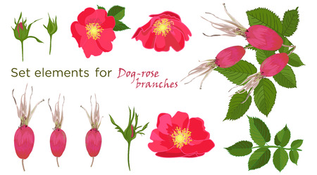 Set red flowers of rose with leaves and fruit in realistic hand-drawn style Vector illustration. Illustration