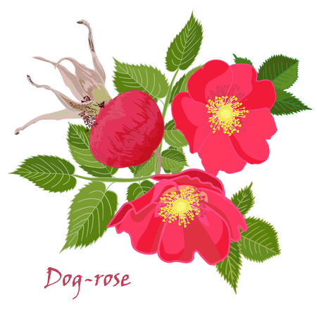 dogrose: Set red flowers of rose with leaves and fruit in realistic hand-drawn style Vector illustration. Illustration