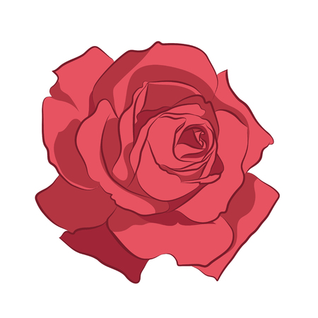 Beautiful pink rose, isolated illustration