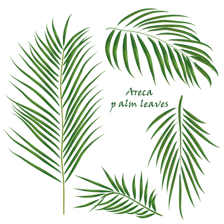 Branch of tropical palm areca leaves. realistic drawing in flat color style. isolated on white background. Vector illustration