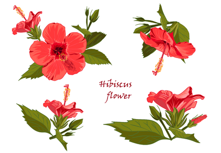 Set red hibiscus flower with leaves in realistic hand-drawn style Vector illustration. Illustration