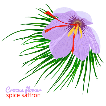 Vintage card with Crocus flower violet set on white background. Saffron spice. Watercolor style pattern. Vector botanical illustration
