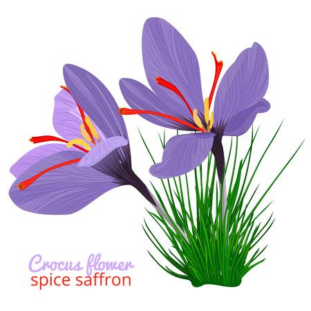 Vintage card with Crocus flower violet set on white background. Saffron spice. Watercolor style pattern. Vector botanical illustration