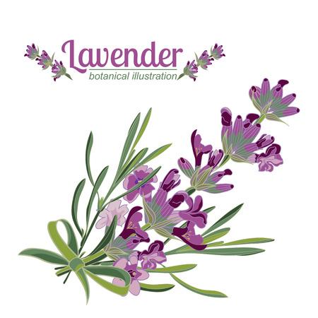 Lavender flower on white background. Colorful vintage vector illustration, watercolor style. Illustration