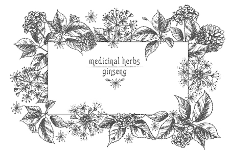 Realistic Botanical ink sketch of ginseng root, flowers and berries isolated on white background Floral herbs collection Chinese medicine plant Card design Vintage rustic vector illustration. Ilustracja