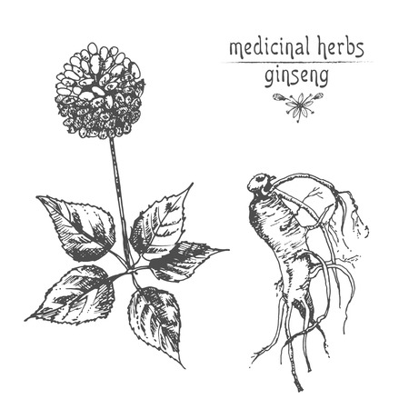 Realistic Botanical ink sketch of ginseng root, flowers and berries isolated on white background, floral herbs collection. Traditional chinese medicine plant. Vintage rustic vector illustration.