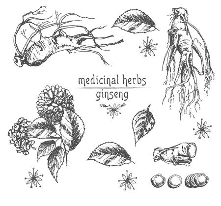 Realistyczny szkic botaniczny tuszem korzenia żeń-szenia, kwiatów i jagód na białym tle, kolekcja ziół kwiatowych. Roślina tradycyjnej medycyny chińskiej. Ilustracja wektorowa rocznika rustykalne.