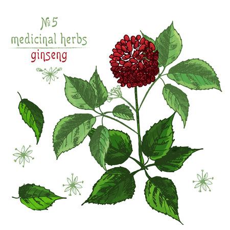 Schizzo di colore botanico realistico di radice di ginseng, fiori e bacche isolati su sfondo bianco, raccolta di erbe floreali. Pianta della medicina tradizionale cinese. Illustrazione di vettore rustico dell'annata. Vettoriali