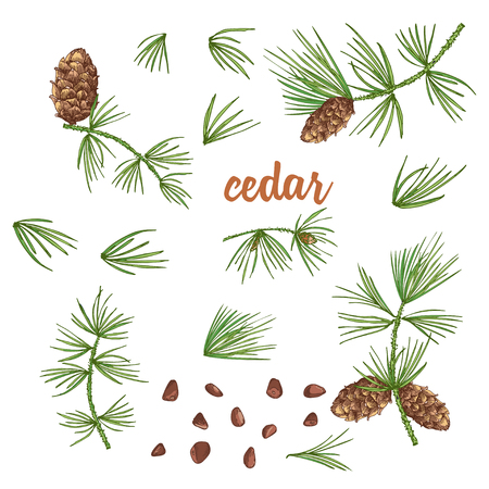 Set ink sketch of color cedar branches with pinecones isolated on white background Good idea for vintage Merry christmas card, new year conifer tree pattern or decorative design. Vector illustration Ilustração