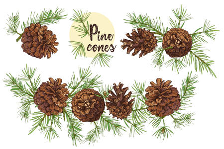 Realistic Botanical ink sketch of colorful fir tree branches with pine cone isolated on white background. Good idea for invitations, greeting postcards, label, sticker Vector illustrations