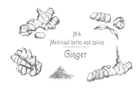 Stellen Sie Hand gezeichnet von Ingwerwurzeln, -leben und -blumen in der schwarzen Farbe ein, die auf weißem Hintergrund lokalisiert wird. Retro-Vintage-Grafikdesign. botanische Skizzenzeichnung, Gravurstil. Vektor-Illustration.
