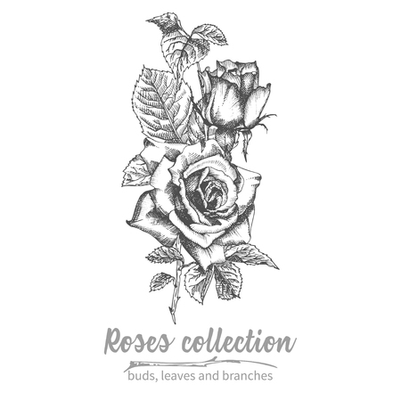 Hand drawn sketch bouquet of roses Detailed vintage botanical illuatration Floral black silhouette isollated on white background Creative graphic art in engraving style for card, invitation Vector