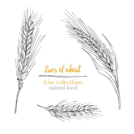 Set botany hand drawn sketch Ears of wheat isolated on white background. line style. Herbal frame. Natural food collection