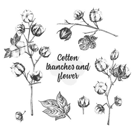 Set of twigs, flowers and leaves of a cotton plant. Hand-drawn vintage sketch botanical illustration. Engraving style. Pure organic eco herbs Black and white vector isolated on white backgound.