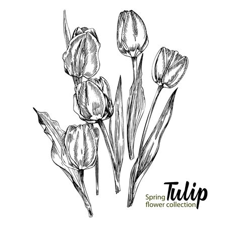 Spring flower tulips on white background. Line engraving drawing style. Realistic botanical nature floral sketch pattern for wedding greeting art decoration design. Vector illustration