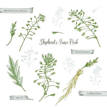 Set color hand drawn of Shepherds Purse root, lives and flowers isolated on white background. Retro vintage graphic design. Botanical sketch drawing, engraving style. Vector illustration.