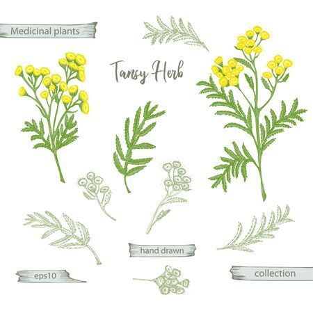 Set color hand drawn of tansy, lives and flowers isolated on white background. Retro vintage graphic design. Botanical sketch drawing, engraving style. Vector illustration. Векторная Иллюстрация