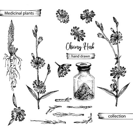 Realistic Botanical ink sketch of chicory root, flowers, powder, bottle isolated on white background, floral herbs collection. Medicine plant. Vintage rustic vector illustration Ilustracja