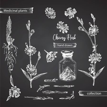 Realistic Botanical ink sketch of chicory root, flowers, powder, bottle isolated on chalkboard background, floral herbs collection. Medicine plant. Vintage rustic vector illustration