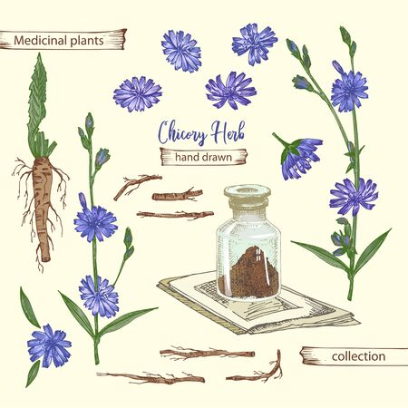 Realistic Botanical color sketch of chicory root, flowers, powder, bottle isolated on yellow background, floral herbs collection. Medicine plant. Vintage rustic vector illustration