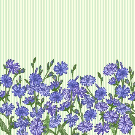 Pattern with Realistic Botanical color sketch of chicory flowers, isolated on yellow and green striples background, Horizontal seamless border Medicine herbs plant. Vintage rustic vector illustration Ilustracja