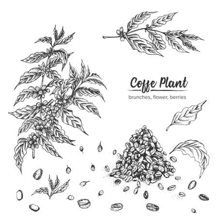 Realistic Botanical ink sketch arabica coffee plant, brunches, flower, berries, leaves, roasted beans isolated on white background, herbs collection. Medicine plant. Vintage rustic vector illustration Ilustracja