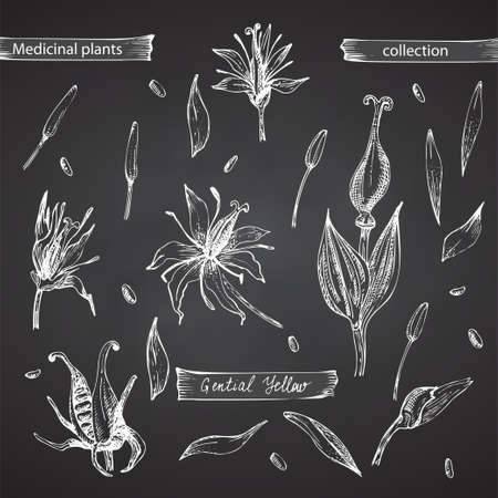 Set hand drawn of Gentian yellow, lives and flowers in white color isolated on chalkboard background. Retro vintage graphic design. Botanical sketch drawing, engraving style. Vector.