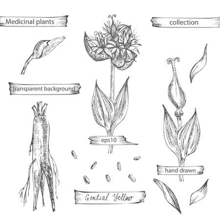 Set hand drawn of Gentian yellow, lives and flowers in black color isolated on white background. Retro vintage graphic design. Botanical sketch drawing, engraving style. Vector.