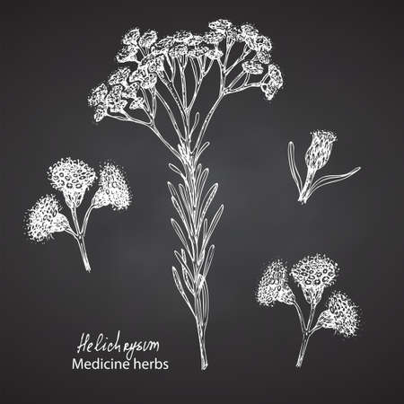 Set hand drawn of immortelle italian, Helichrysum flowers in white color isolated on chalkboard background. Retro vintage graphic design. Botanical sketch drawing, engraving style.