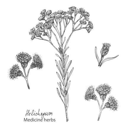 Set hand drawn of immortelle italian, Helichrysum flowers in black color isolated on white background. Retro vintage graphic design. Botanical sketch drawing, engraving style. Vector. Ilustração