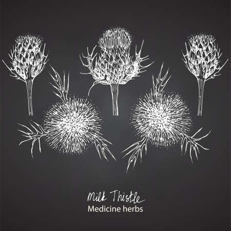 Set hand drawn of Milk Thistle, lives and flowers in White color isolated on chalkboard background. Retro vintage graphic design. Botanical sketch drawing, engraving style. Vector.